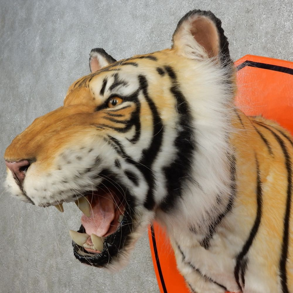 Reproduction Bengal Tiger Shoulder Mount The Taxidermy Store