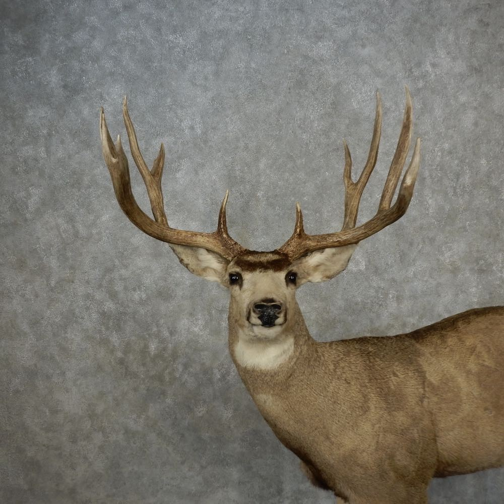 how to find mule deer