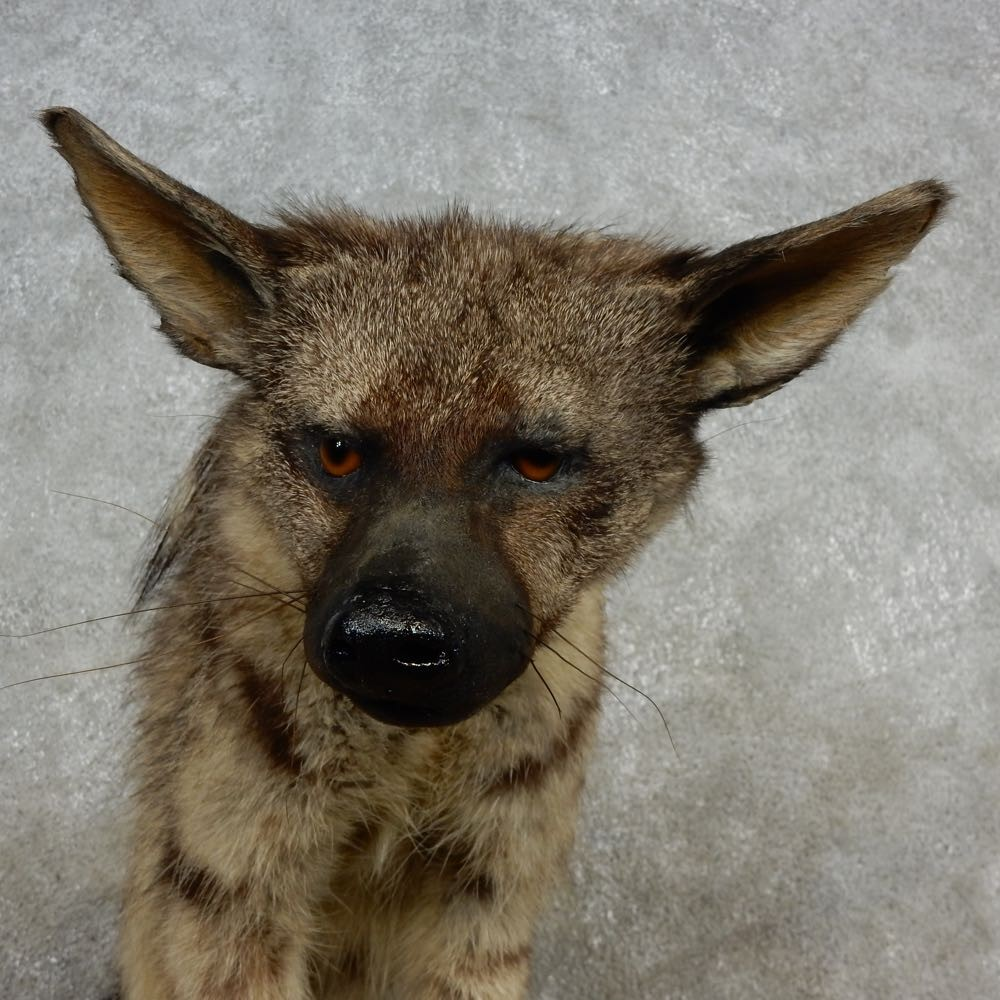 Aardwolf Mount For Sale: African Aardwolf Mount For Sale #15695 For Sale