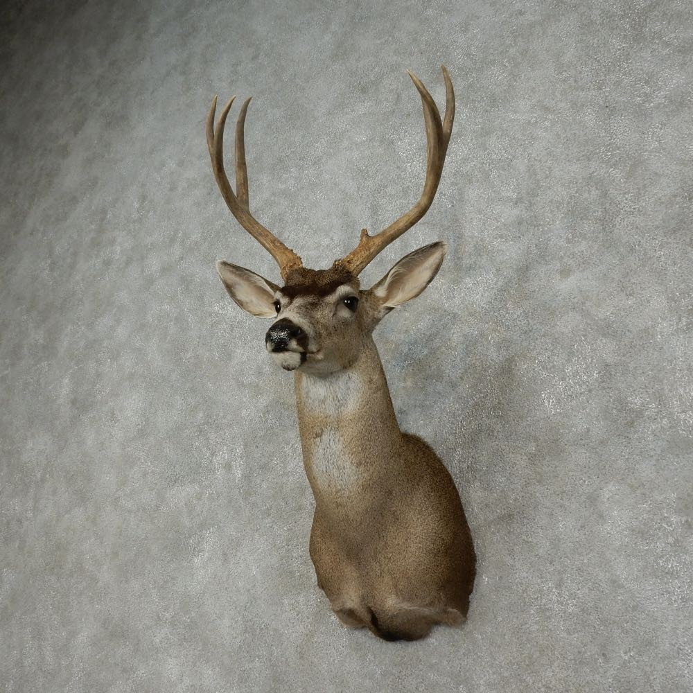Blacktail antlers Vintage - collectibles - by owner - sale