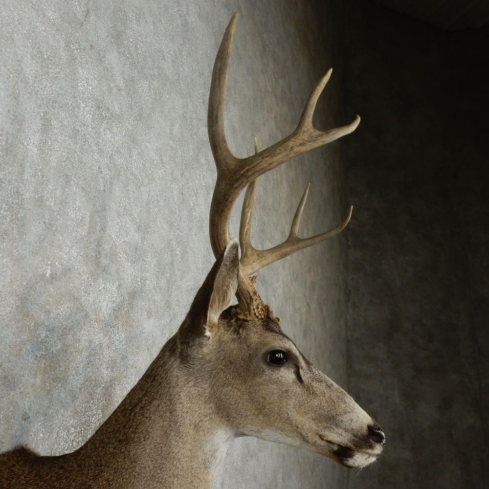 Antler Tom.com, whitetail antlers, mule deer, trophy racks