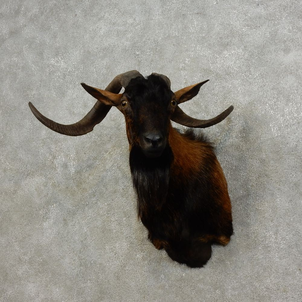 Feral Goat Shoulder Mount For Sale #15908 - The Taxidermy ...