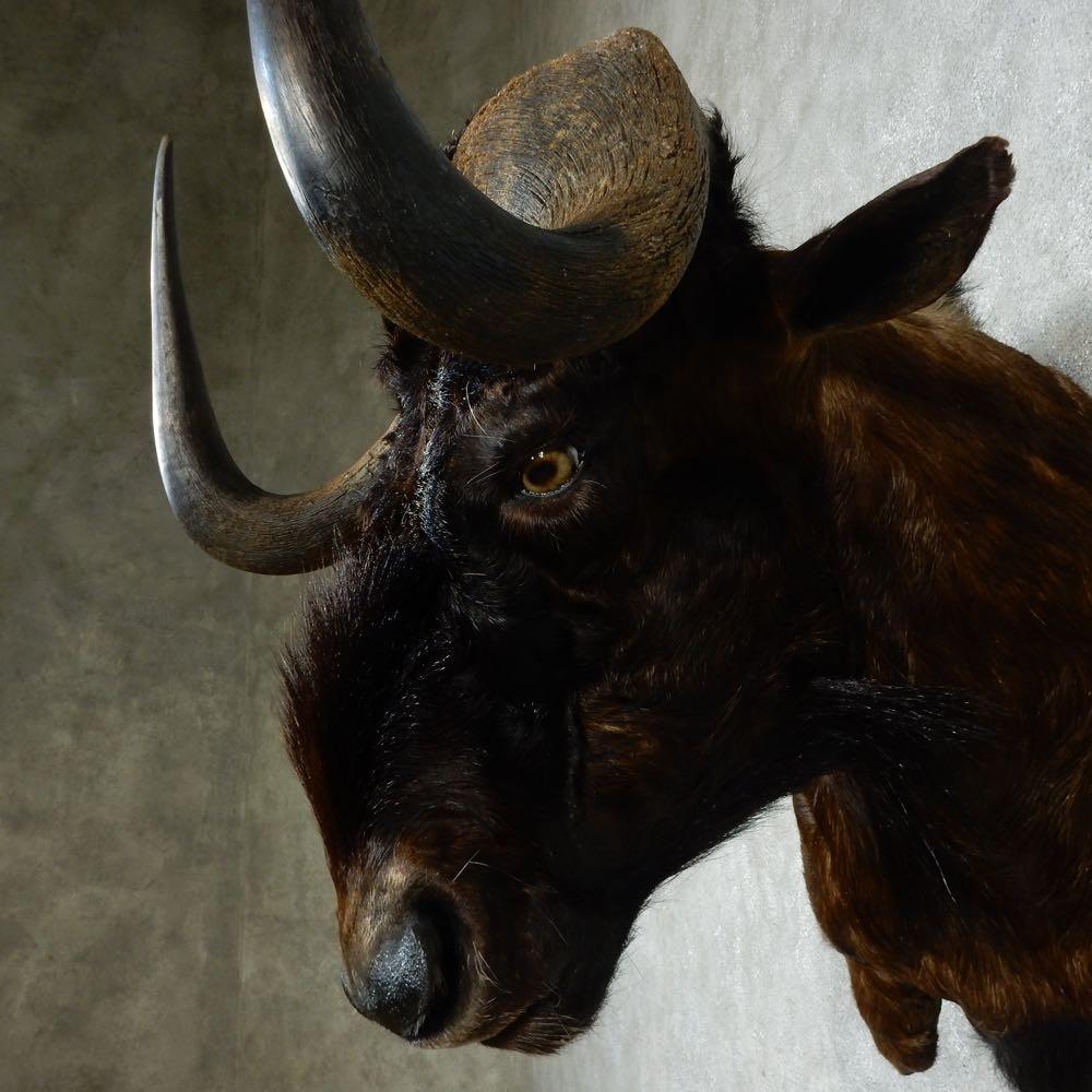 African Black Wildebeest Shoulder Mount For Sale #16179 ...