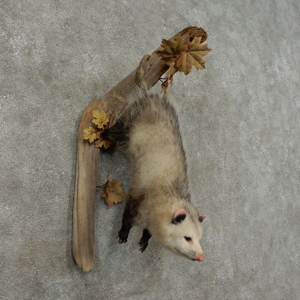 Wall-Hanging Opossum Mount For Sale #16181 - The Taxidermy ...