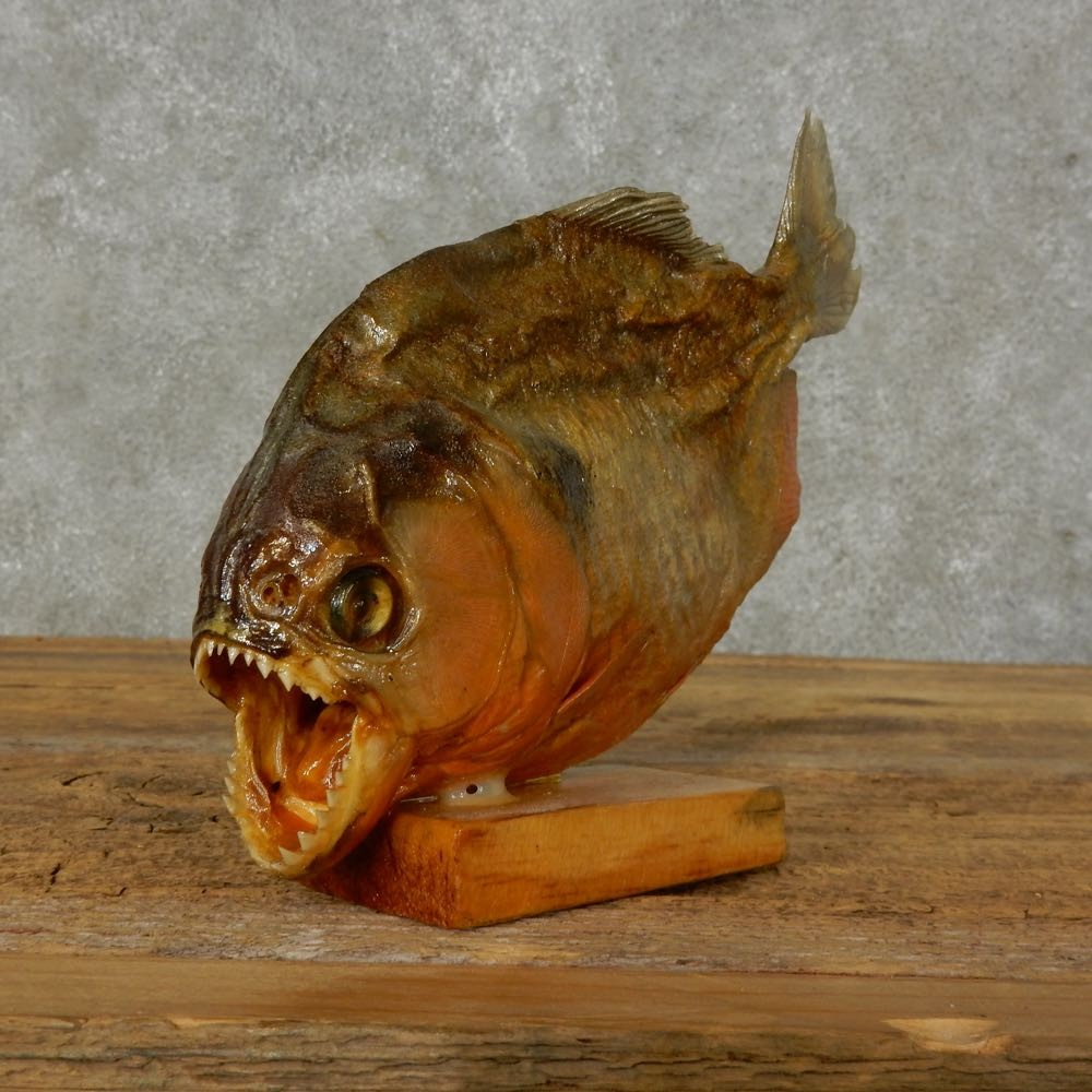 how to taxidermy a fish mounts
