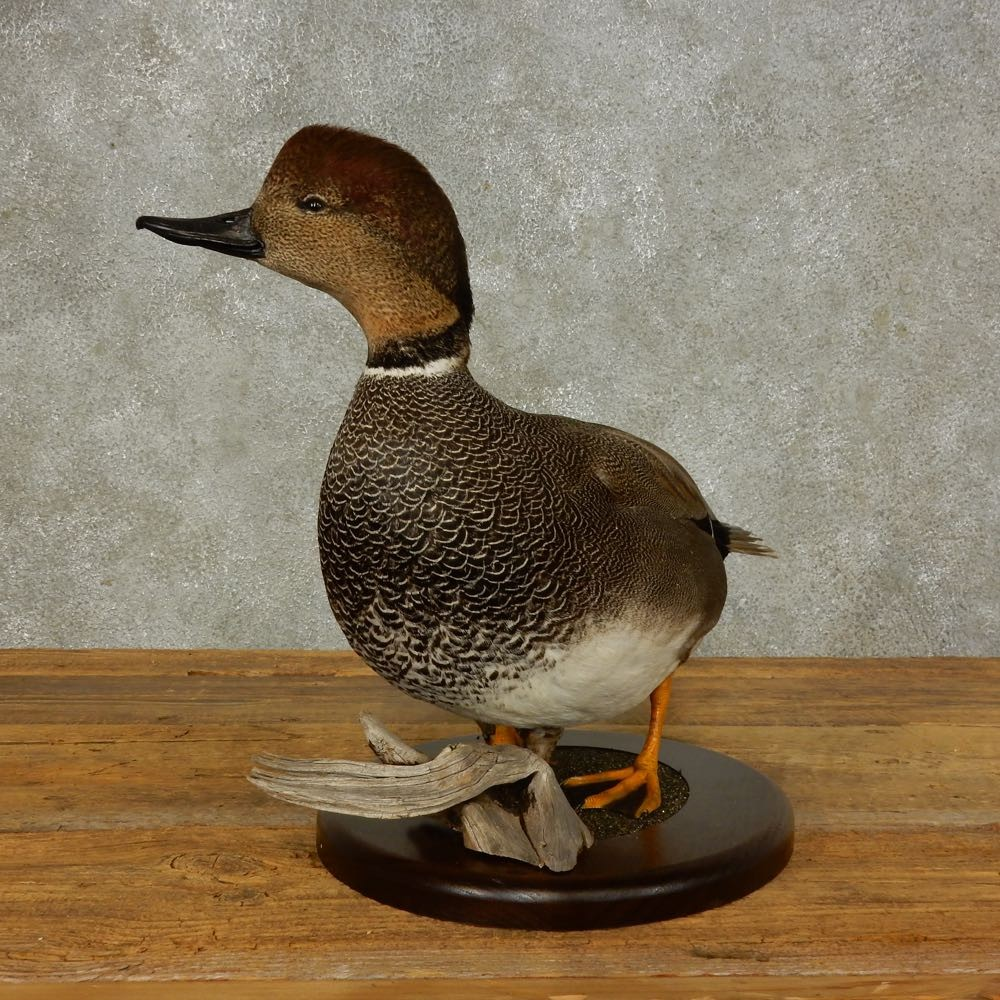 Gadwall Duck Bird Mount For Sale #16400 - The Taxidermy Store