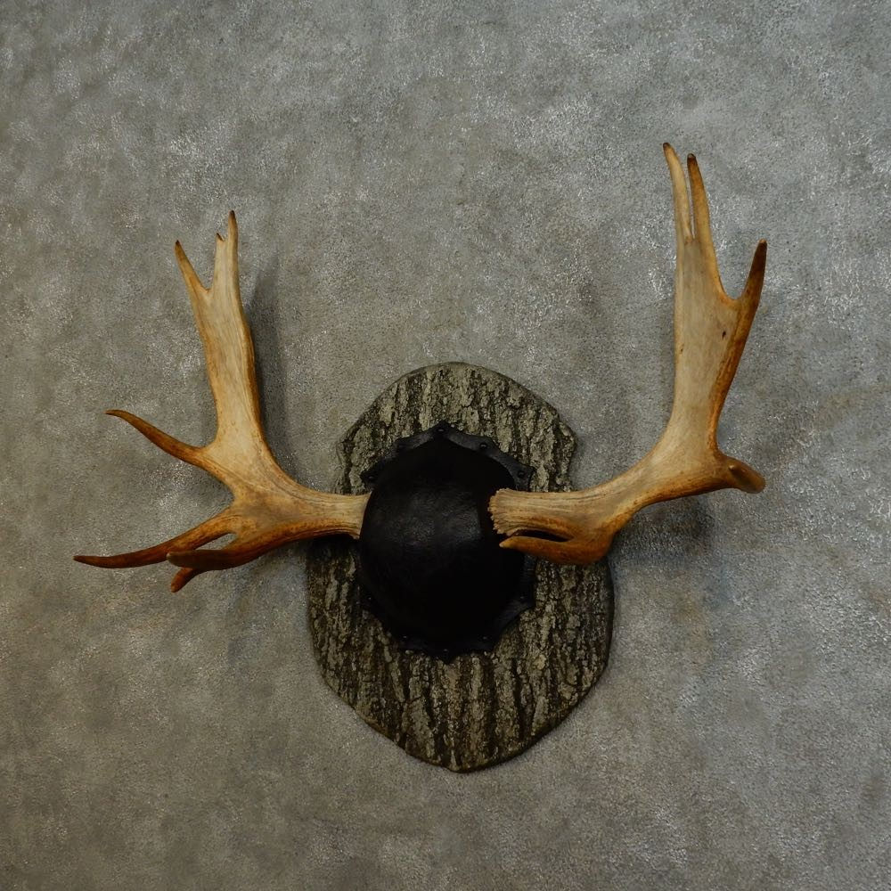 Eastern Canadian Moose Antler Plaque For Sale #16532 - The ...