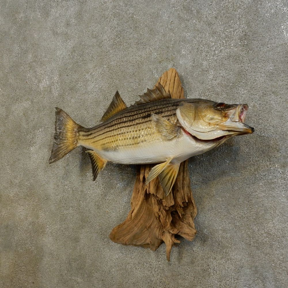 Sunshine hybrid bass fish mount for sale 16538 the for Bass fish for sale