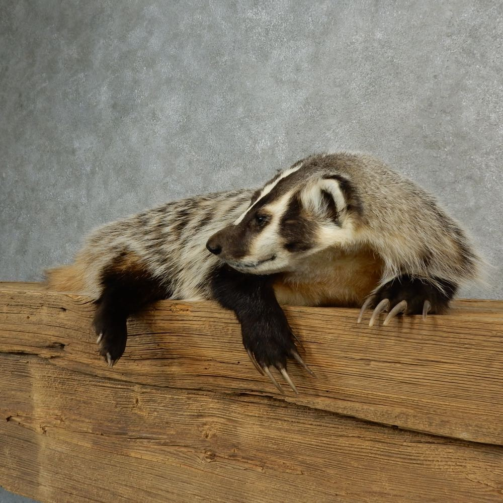 American Badger Life-Size Mount For Sale #16988