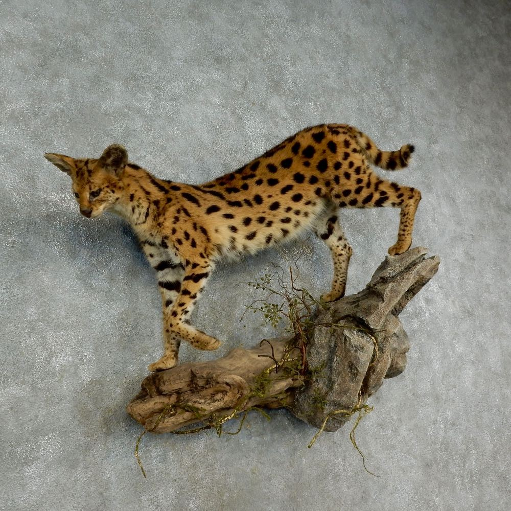37 best ideas about African Serval on Pinterest | Cats, 6 ...