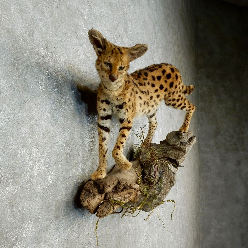Our African Serval - YouTube