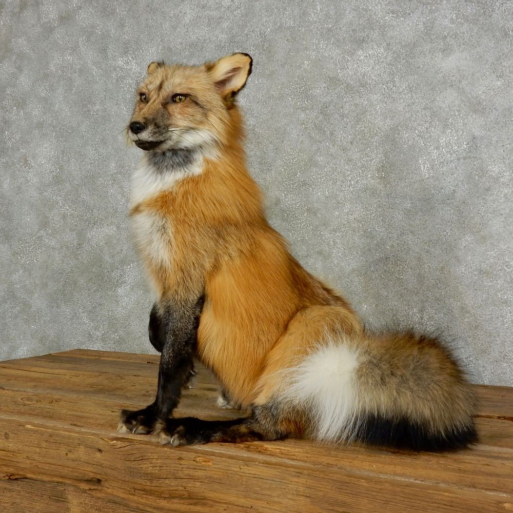 Red Cross Fox Life-Size Mount For Sale #17038 - The ...