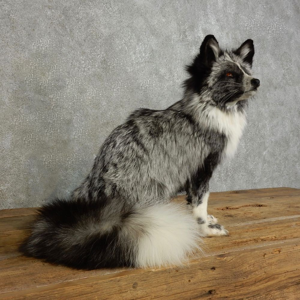 Platinum Fox Life Size Mount For Sale 17040 The