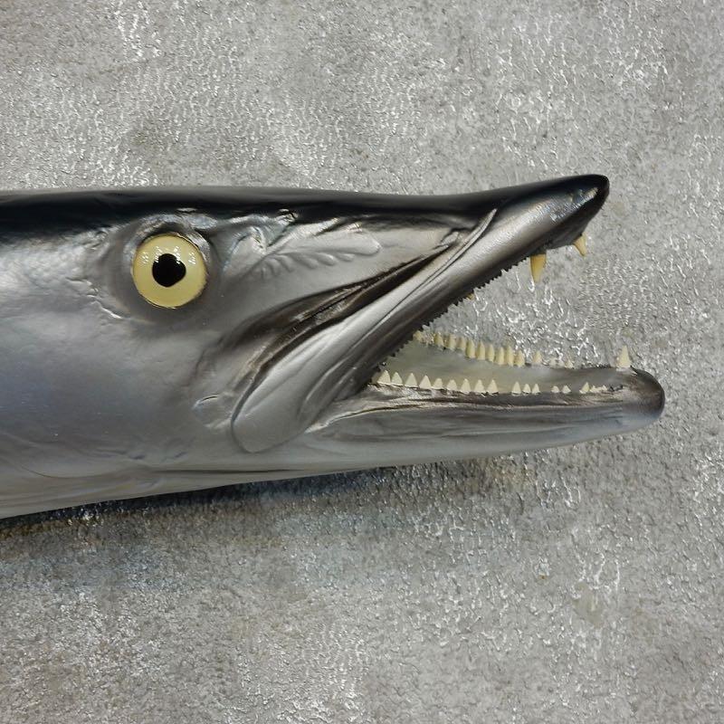 Barracuda replica fish mount 17342 the taxidermy store for Replica fish mounts