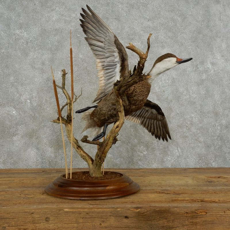 Pintail Duck Bird Mount For Sale #17385 - The Taxidermy Store
