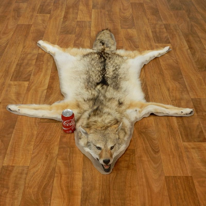 Coyote Howling Life Size Mount 17434 The Taxidermy Store