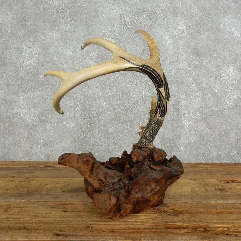 Carving on whitetail antlers for sale
