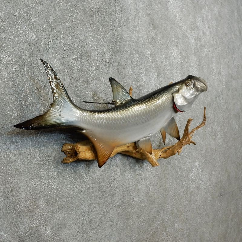 Atlantic tarpon fish mount for sale 17779 the taxidermy for Tarpon fish pictures