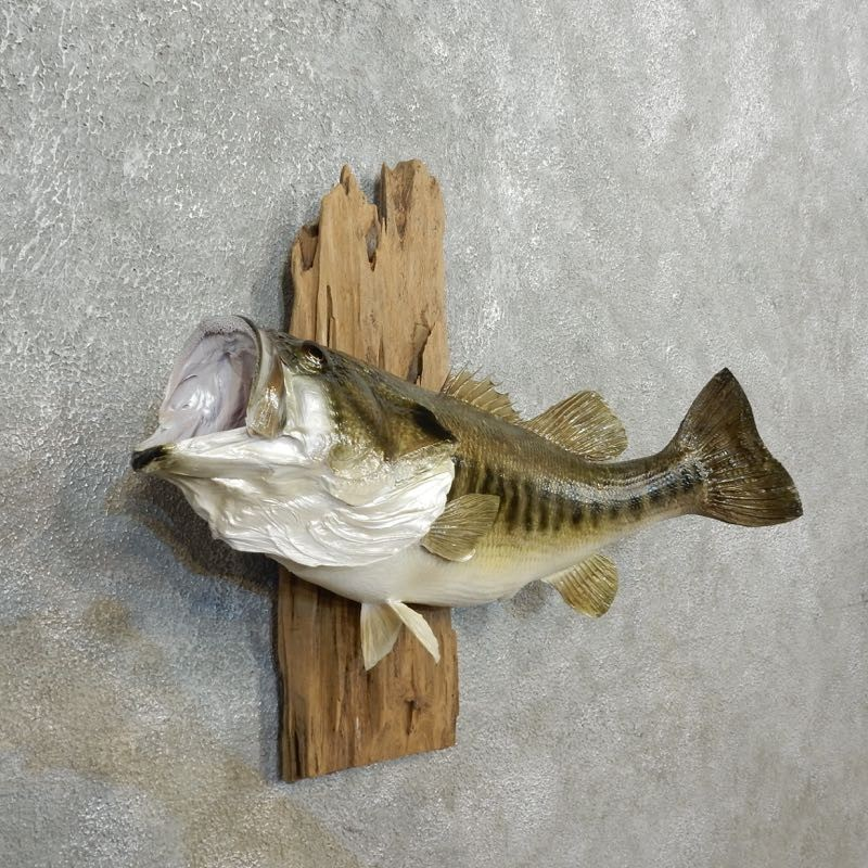 Largemouth bass fish mount for sale 17787 the taxidermy for Bass fish for sale