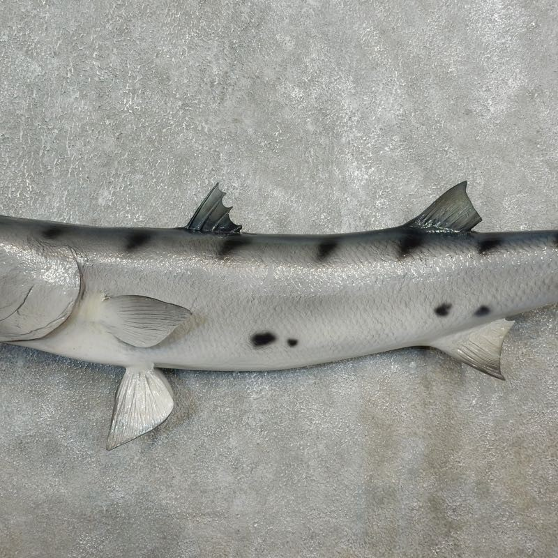barracuda replica fish mount 17796 the taxidermy store