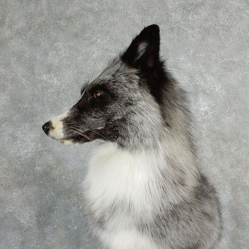 Platinum Fox Life Size Mount For Sale 17831 The