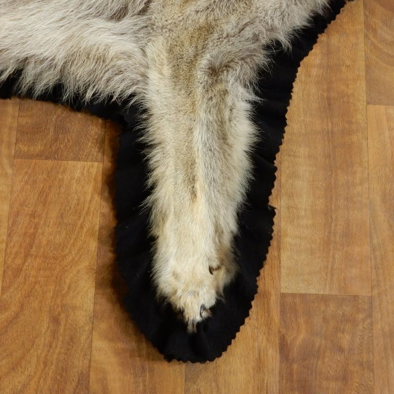 Coyote Full Rug Taxidermy Mount #17863