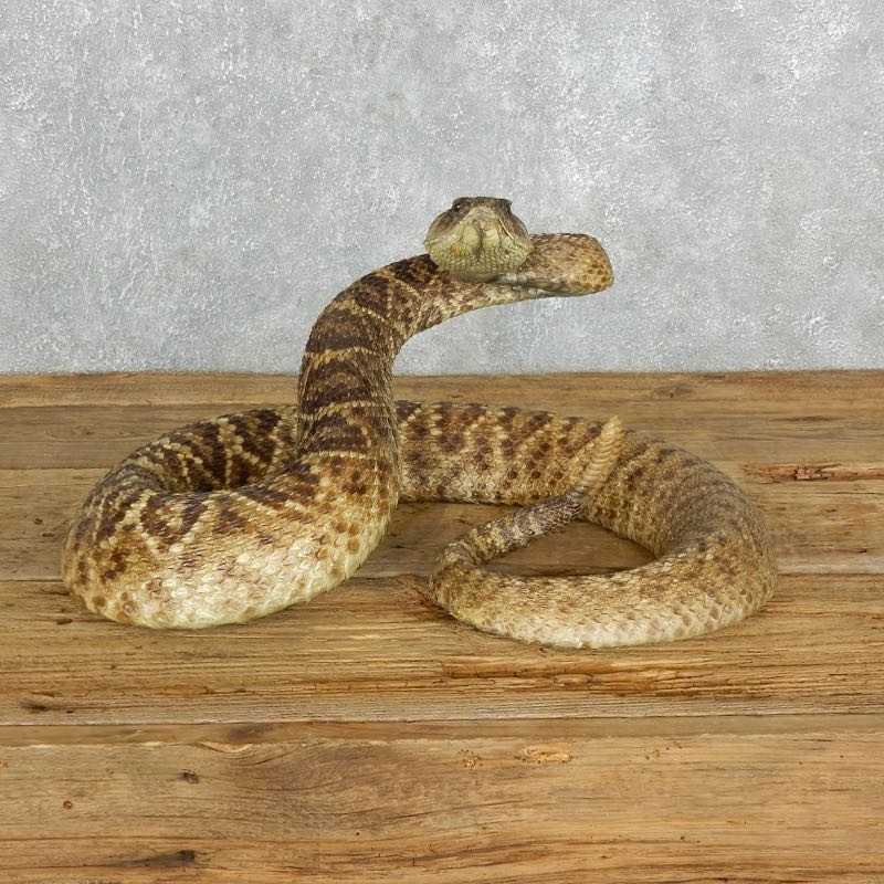Western Diamondback Rattlesnake Mount For Sale #18016 - The