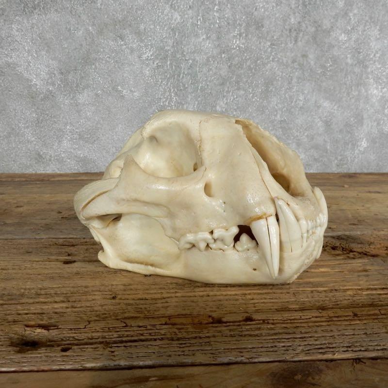 Mountain Lion (Cougar) Full Skull For Sale