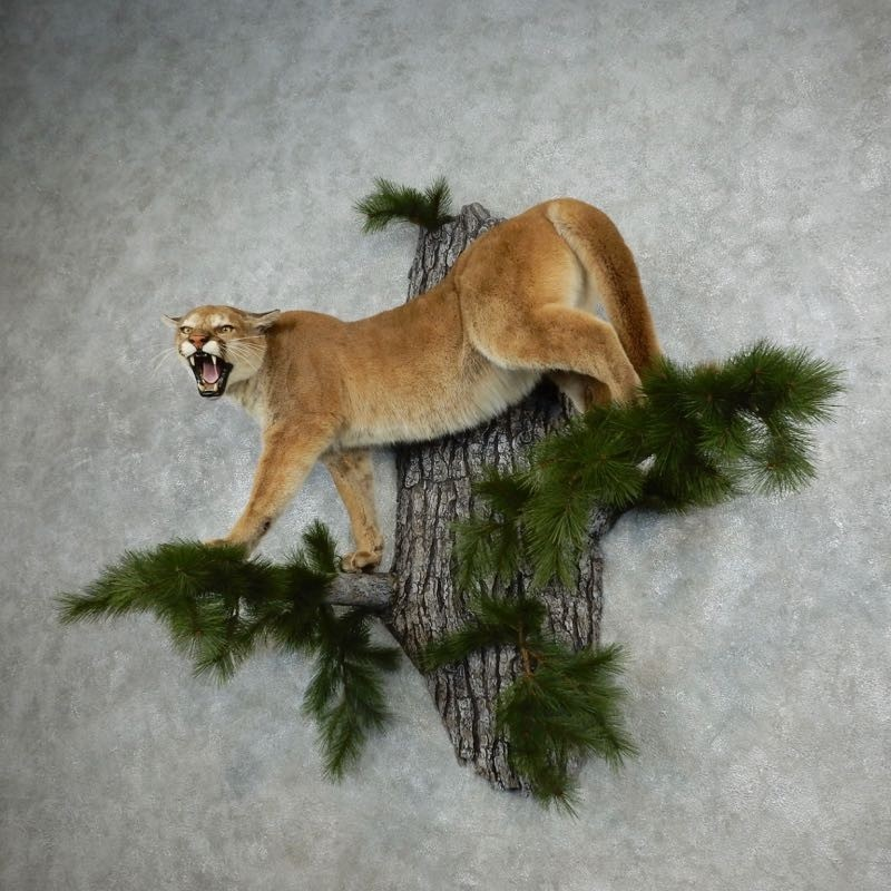 Antlers For Sale >> Mountain Lion / Cougar Mount #18104 - The Taxidermy Store