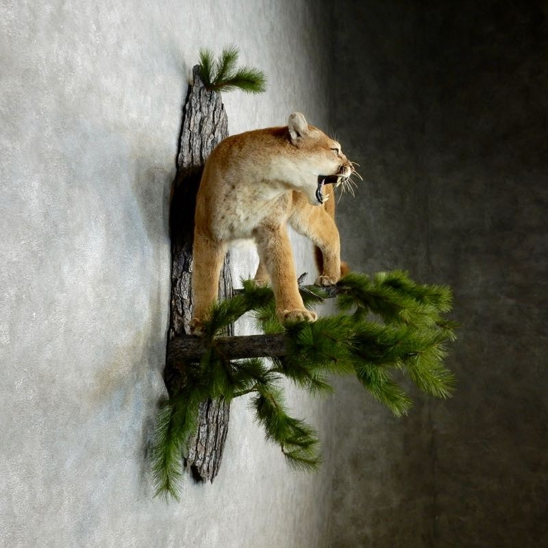 Mountain Lion Cougar Mount 18104 The Taxidermy Store