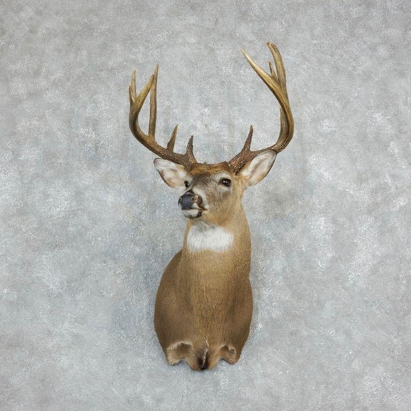 Whitetail Deer Shoulder Mount For Sale #18231