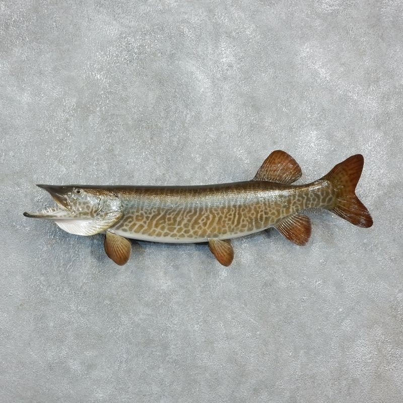 Musky fish mount 18239 the taxidermy store for Fish mounts for sale