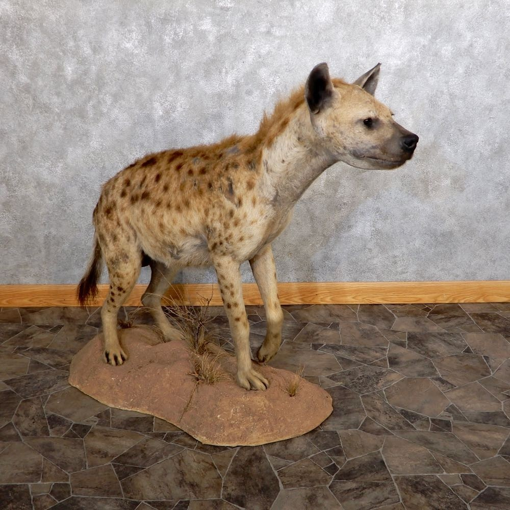 Antlers For Sale >> Spotted Hyena Life Size Mount #18599 - The Taxidermy Store