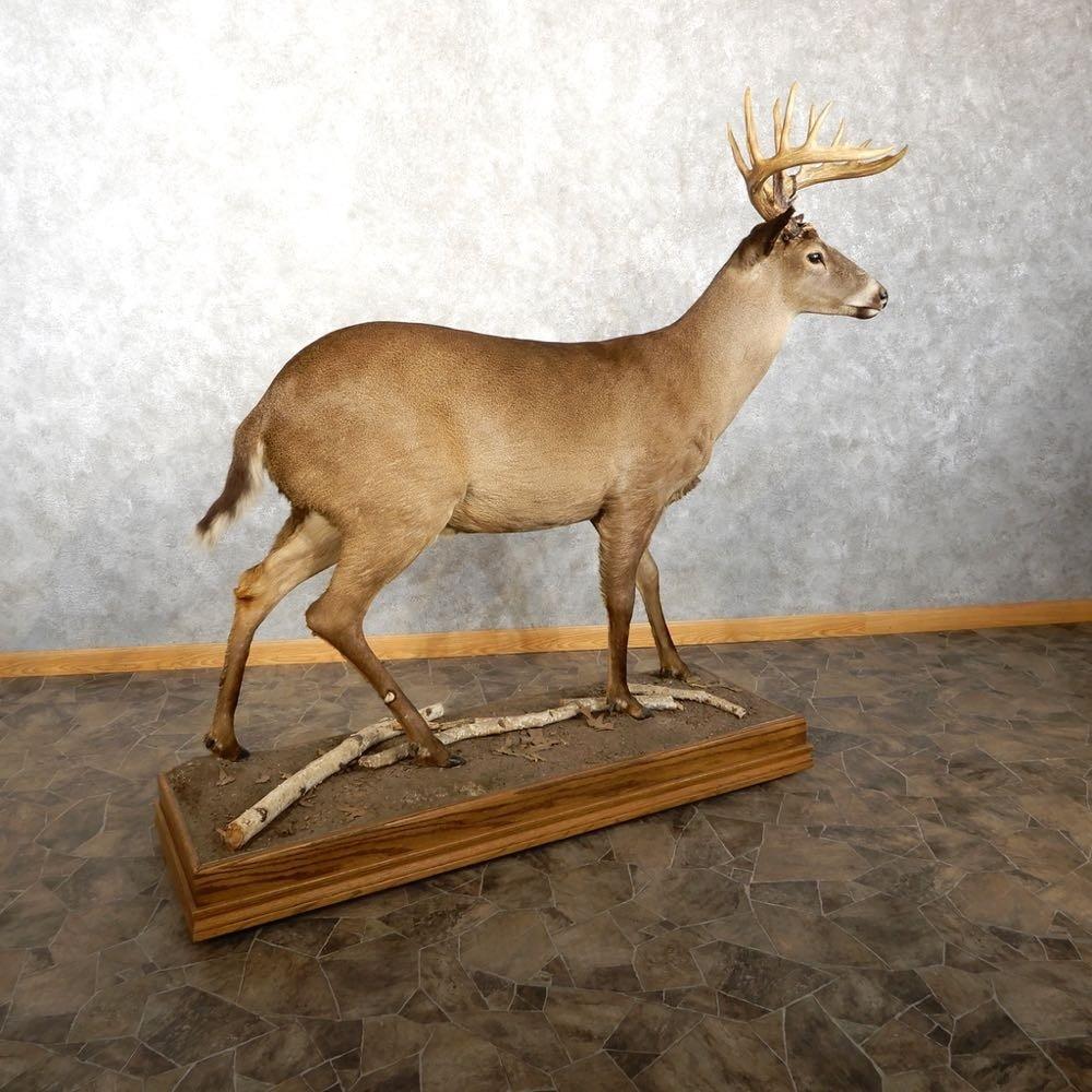 Melanistic Whitetail Deer Rare Melanistic...
