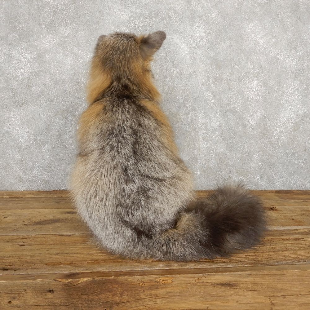Pearl Cross Fox Mount For Sale #18787 - The Taxidermy Store