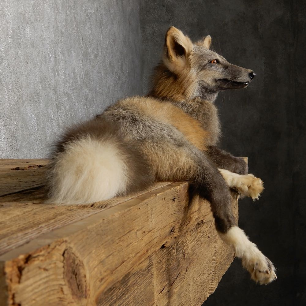 Pearl Cross Fox Mount For Sale #18798 - The Taxidermy Store