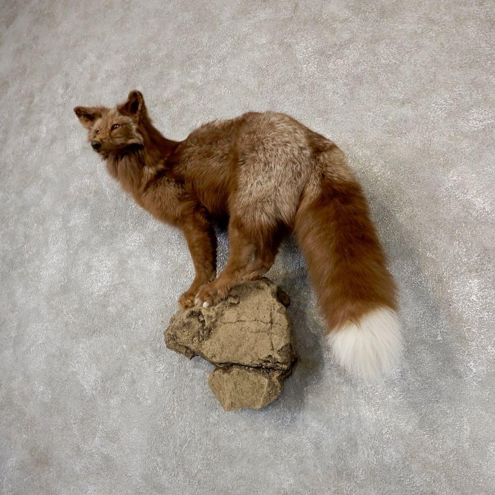 Cross Fox Life-Size Taxidermy Mount #18871 - The Taxidermy ...