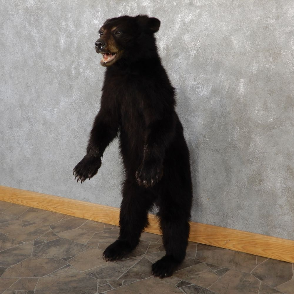 Standing Black Bear Cub Mount 18945 The Taxidermy Store