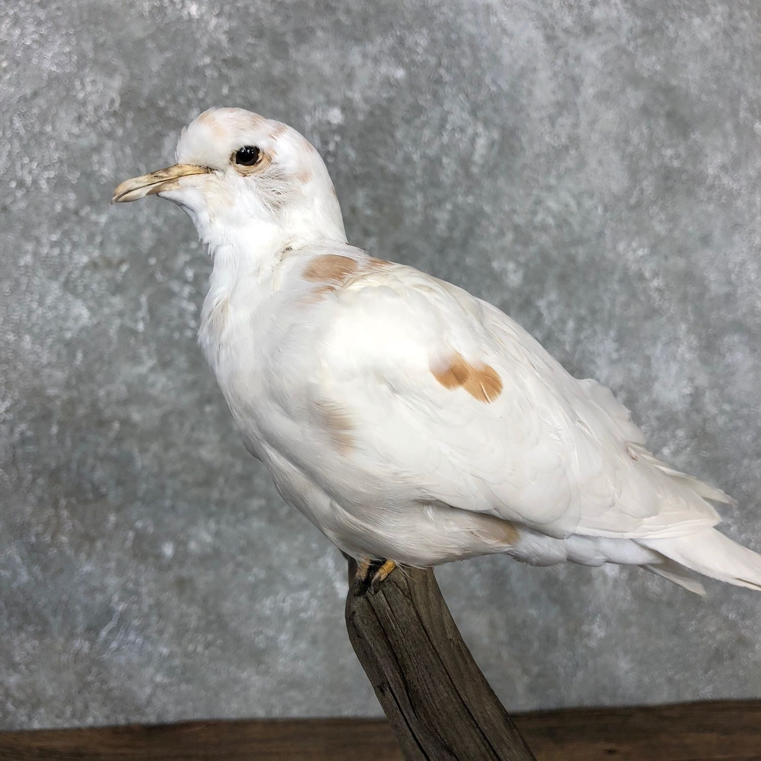 Doves For Sale >> White Collard Doves Life Size Taxidermy Bird Mount 19489 The