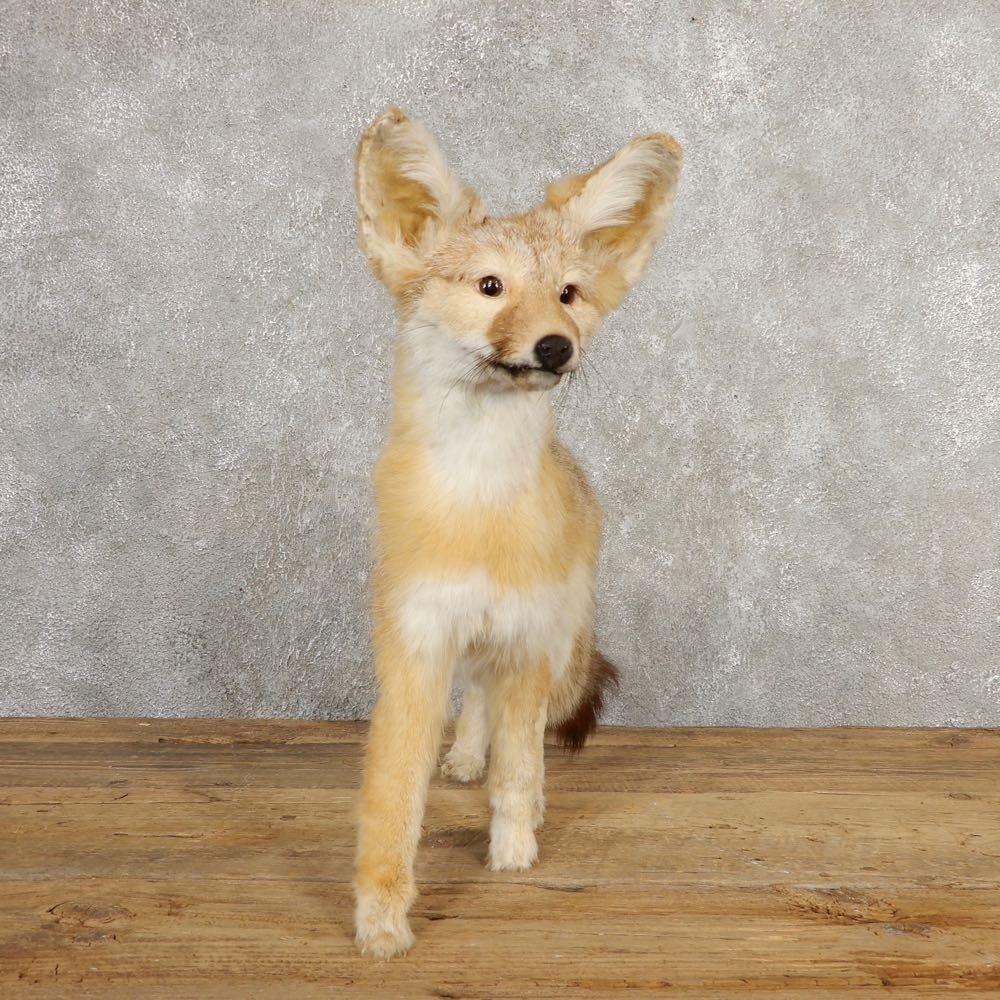 Kit Fox Life-Size Mount For Sale #20622