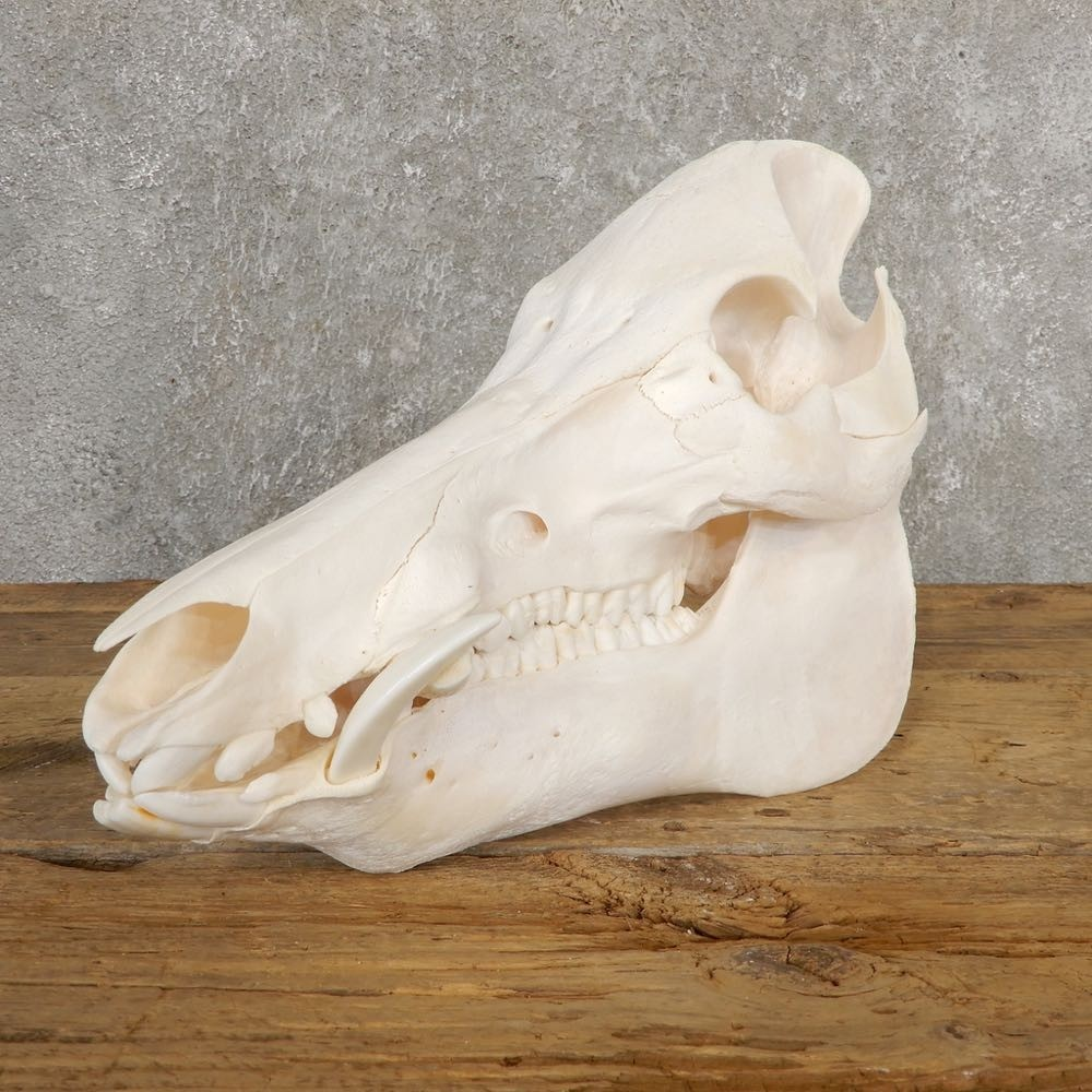 Wild Boar Full Skull For Sale #20635 - The Taxidermy Store