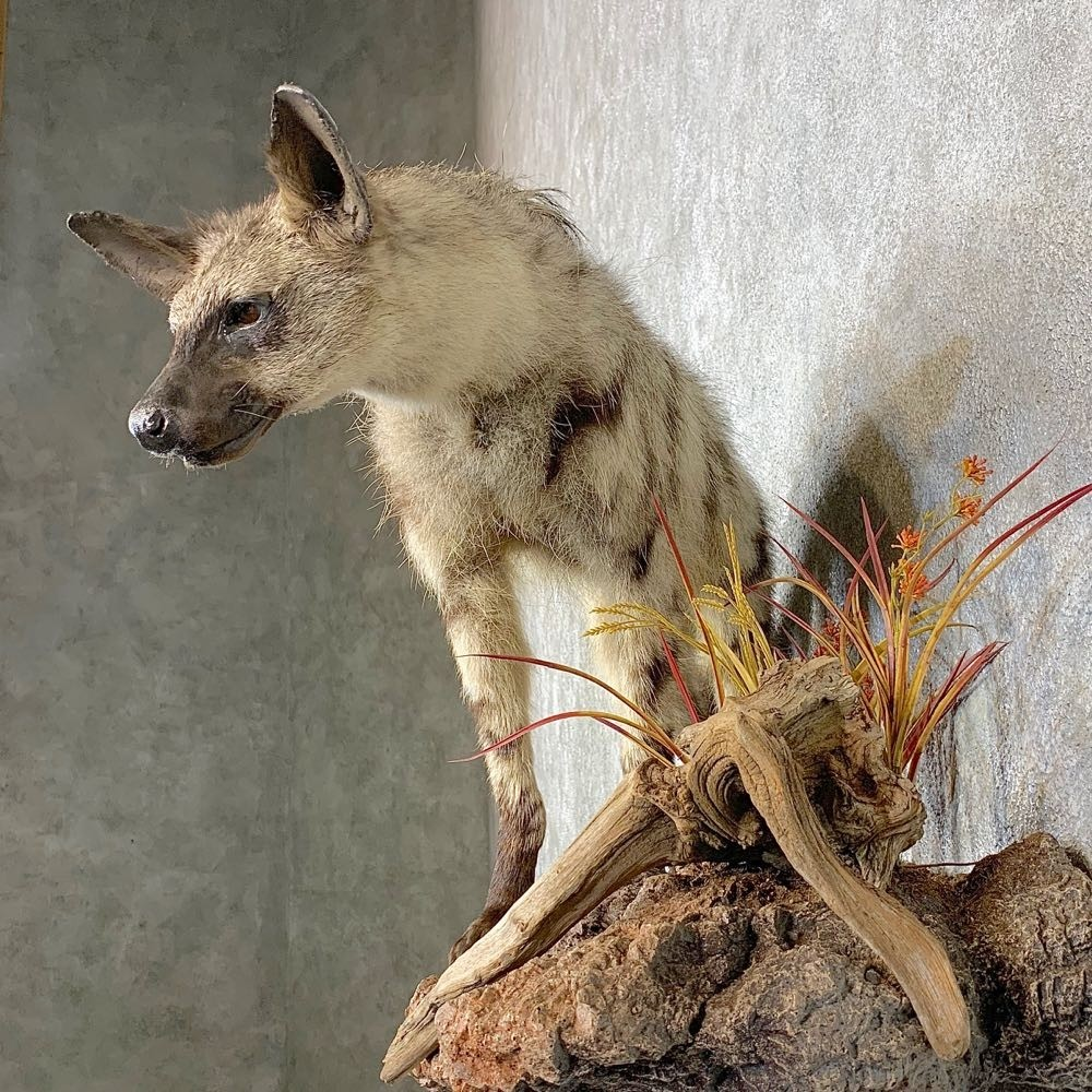 Aardwolf Mount For Sale