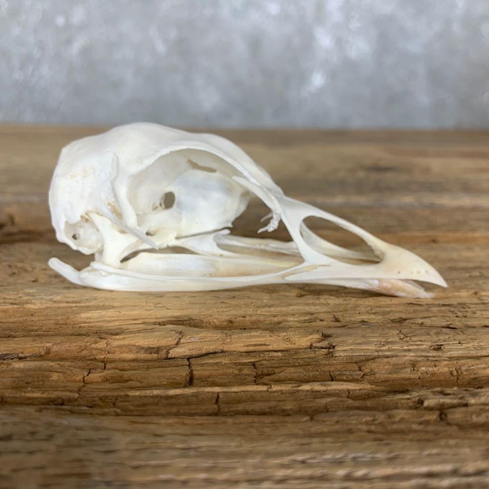Natural Bone Quality A Turkey Skull
