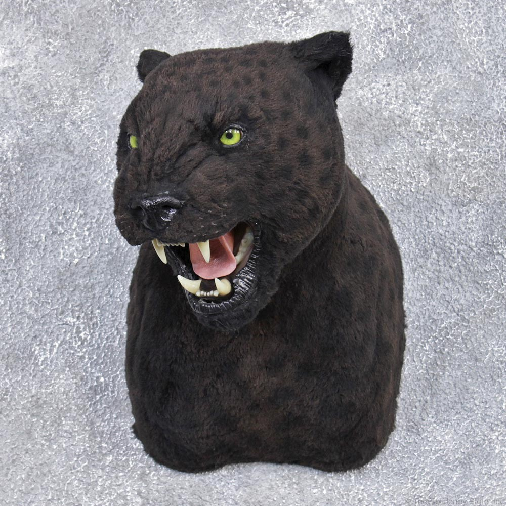 Reproduction Black Leopard Mount 12454 The Taxidermy Store