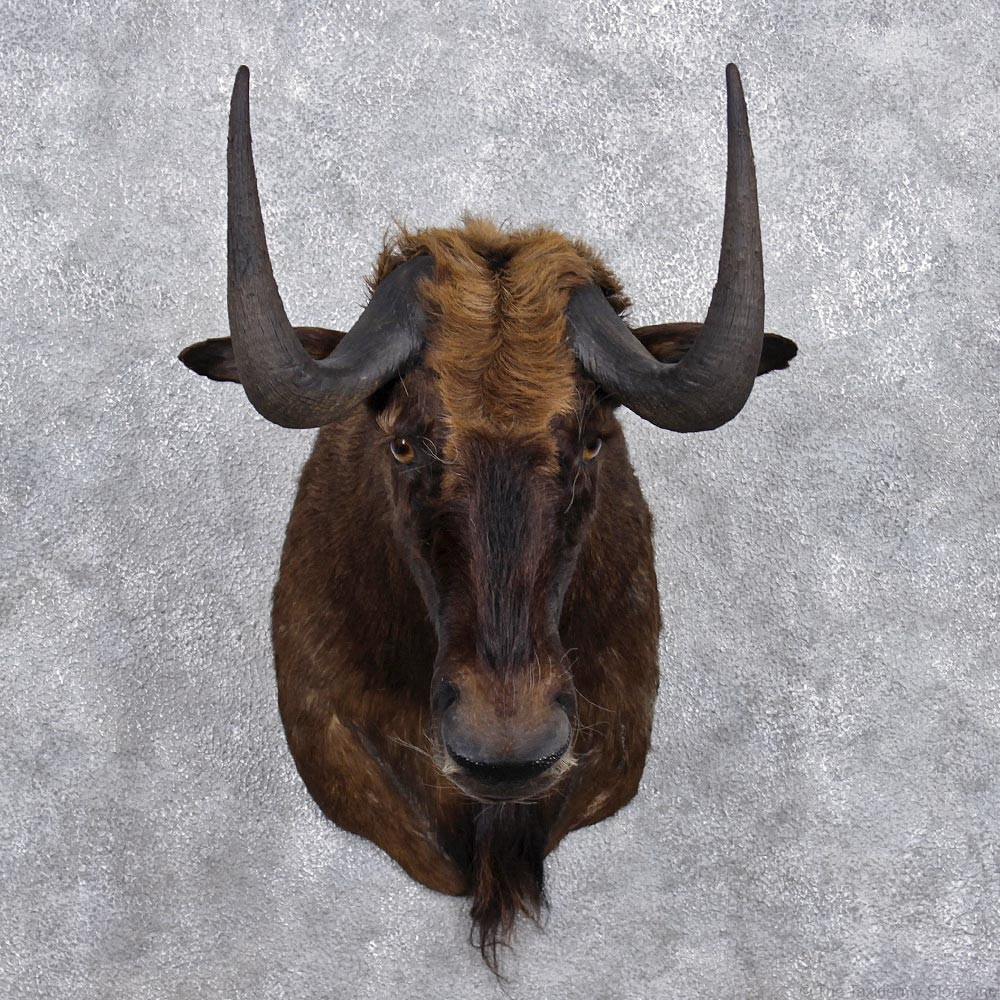 African Black Wildebeest Mount #12366 - The Taxidermy Store