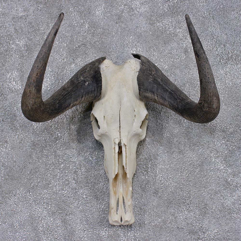 Black Wildebeest Skull & Horns #12451 - The Taxidermy Store Horns