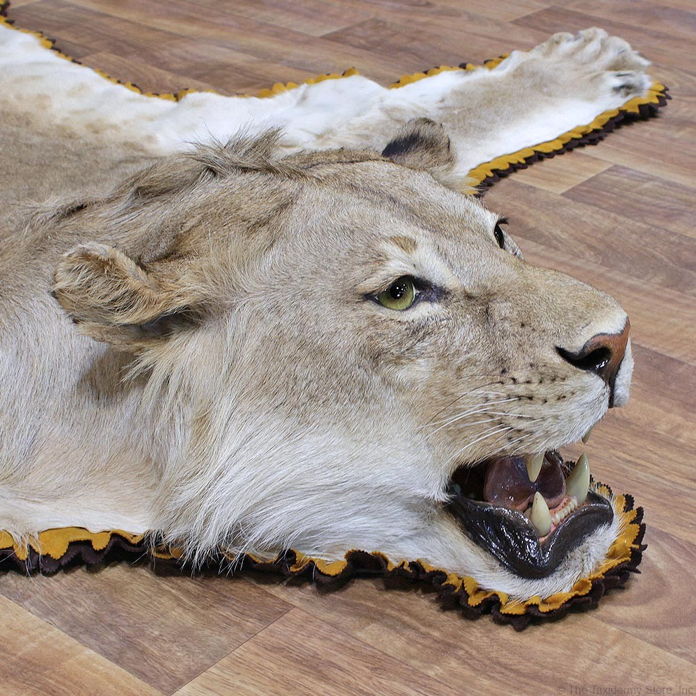 African Lion Taxidermy Rug Mount #12331 For Sale @ The Taxidermy Store - African Lion Rug Mount #12331 - The Taxidermy Store