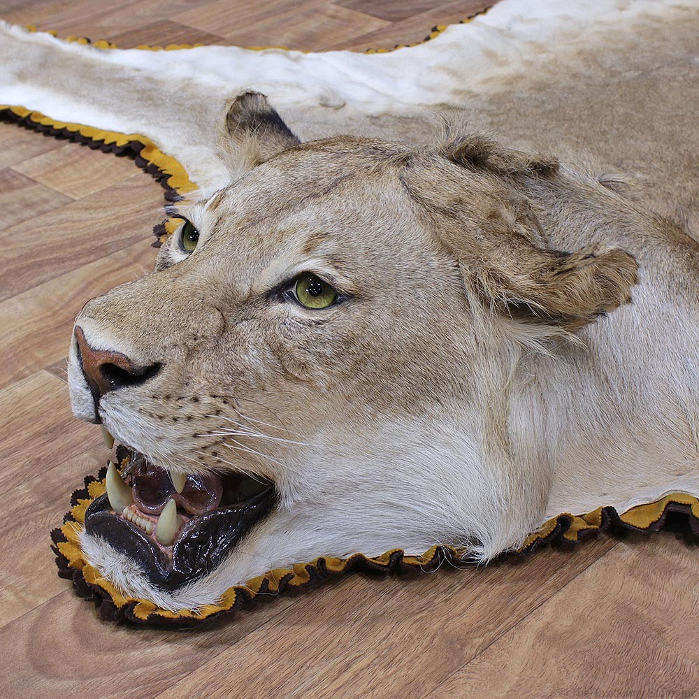 African Lion Taxidermy Rug For Sale