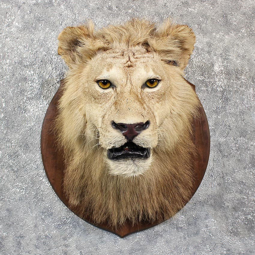 African Lion Shoulder Mount 11608 The Taxidermy Store
