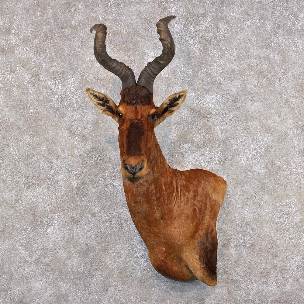 African Red Hartebeest For Sale #12298 - The Taxidermy Store